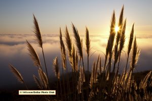 Pampas Grass in natural setting