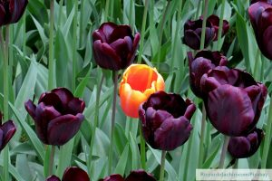 aspie traits, Diverity, one yellow tulip