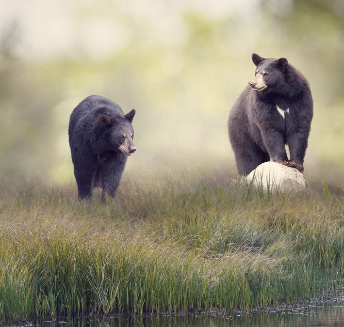 Two bears in nature sensing